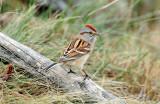 Sparrow, American Tree (Dec. 14, 2012)