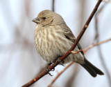 Finch, House (Female)