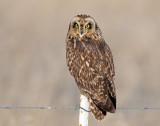 Owl, Short-eared (Bear River FWMA)