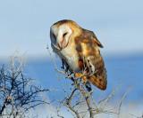 Owl, Barn  (1/1/2013)