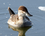 Duck, Ruddy (Non-breeding plumage)