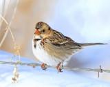 Sparrow,  Harris's (1-12-2013)