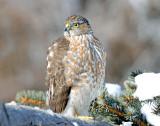 Hawk, Sharp-shinned  (Jan. 20, 2013)