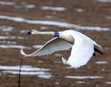 Swan Tundra D-076.jpg