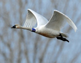 Swan Tundra D-079.jpg