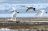Swan Tundra D-090.jpg