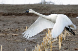 Swan Tundra D-094.jpg