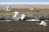 Swan Tundra D-101.jpg