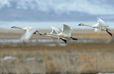 Swan Tundra D-103.jpg