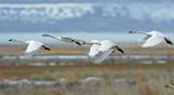 Swan Tundra D-104.jpg