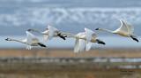 Swan Tundra D-105.jpg
