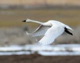 Swan Tundra D-110.jpg