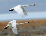Swan Tundra D-121.jpg