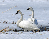Swan Tundra D-057.jpg