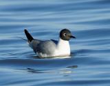 Gulls, Bonaparte's (April 23, 2013)