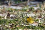 Paruline à calotte noire - Wilson's Warbler