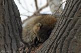 Raton laveur bien endormi - Sleeping Raccoon
