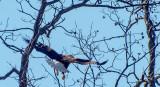 A  bald eagle leaving the nest.