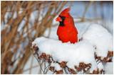 cardinal10.jpg