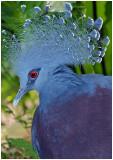 Victoria Crowned Pigeon1.jpg