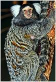 White-eared Marmoset 1.jpg