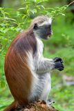 Jozani Forest: Red Colubus Monkey