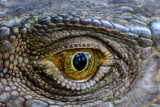 The eye of a green iguana