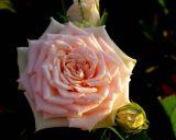 ex tiny pink rose mod.jpg