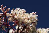 ex tiny white flowers very blue sky mod.jpg