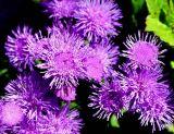ex tiny purple flowers  printed mod.jpg