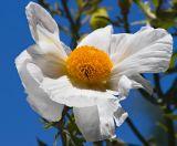 ex white flower orange center mod _MG_8861.jpg