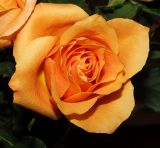 ex orange rose mod.jpg
