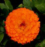 ex bright orange flower water drops green leaves mod.jpg