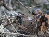 Dove on Her Nest