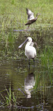 Royal spoonbill (and a duck, leaving)