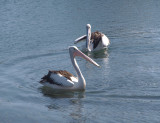 Pelicans Everywhere (44 pictures)