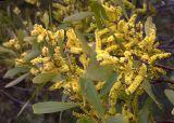 Acacia binervia, possibly