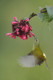 Fire-Tailed Sunbird feeding in Flight-1