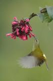 Fire-Tailed Sunbird feeding in Flight-1