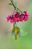 Fire-Tailed Sunbird feeding in Flight-2