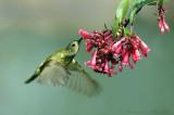 Fire-Tailed Sunbird 4
