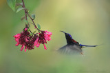 Black-Throated sunbird 3