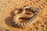 Racer snake - זעמן אוכפים - Coluber Rogersi
