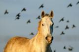 Horse & Starlings  - סוס וזרזירים
