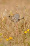 House Sparrow - דרור הבית - Passer domesticus
