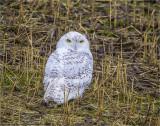 Seasons first snowy owl, West of Spokane
