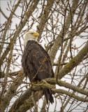 Season's first eagle, Medical Lake