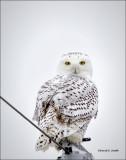 Snowy Owl, West of Spokane