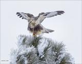 Rough Legged Hawk in Tree