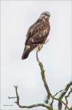 Rough Legged Hawk on Branch, West of Spokane